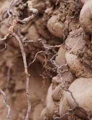 Roots in the Don Melchor vineyard of Concha y Toro