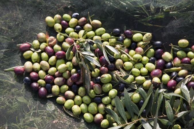 azeitonas-esporao