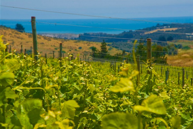 vineyard-with-ocean-view